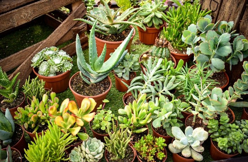 Stonecrop Succulents You Will Love
